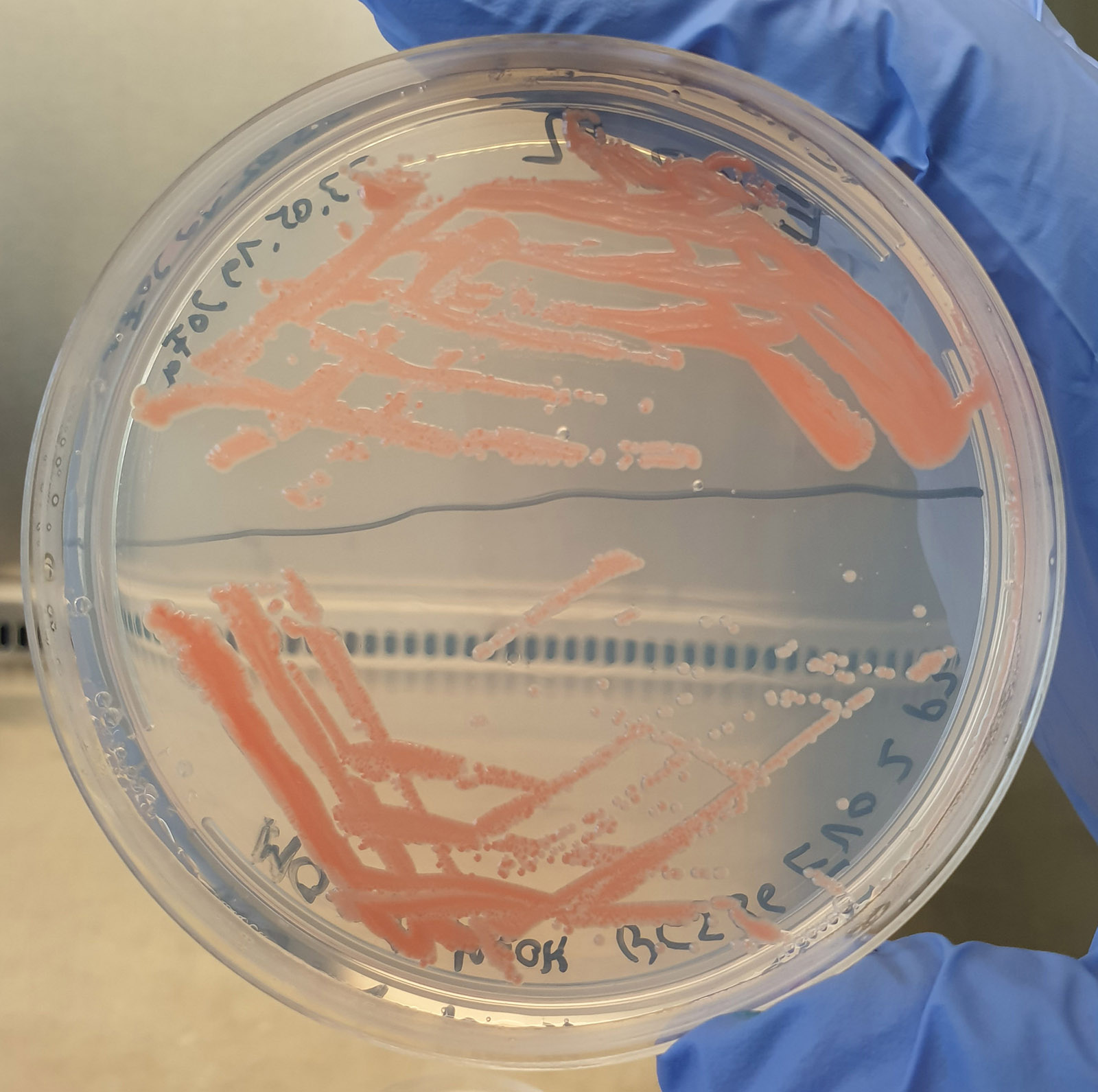 Separation smear for isolation of single colonies of M. extorquens AM1 on a methanol-containing minimal medium agar plate.